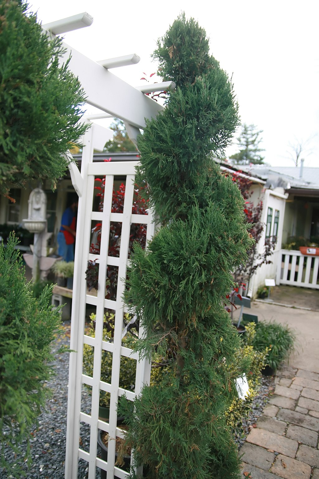 Blue point spiral juniper
