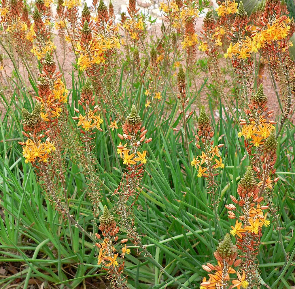 Bulbine plant
