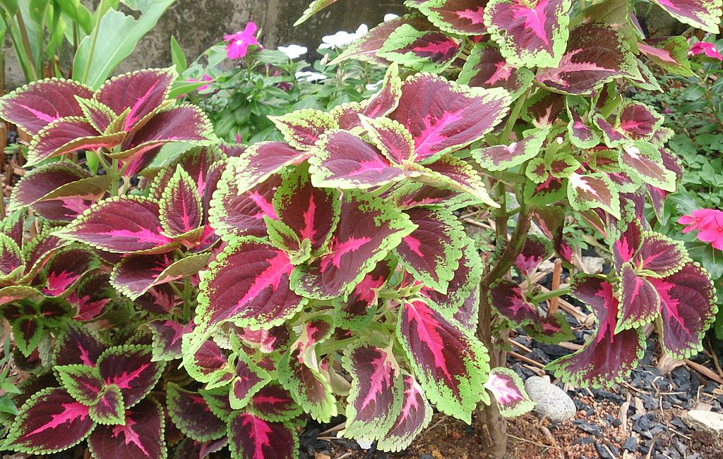 Coleus planting to add color to landscape