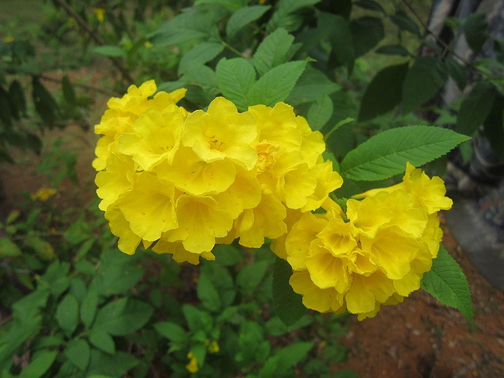 Esperanza Yellow Bells
