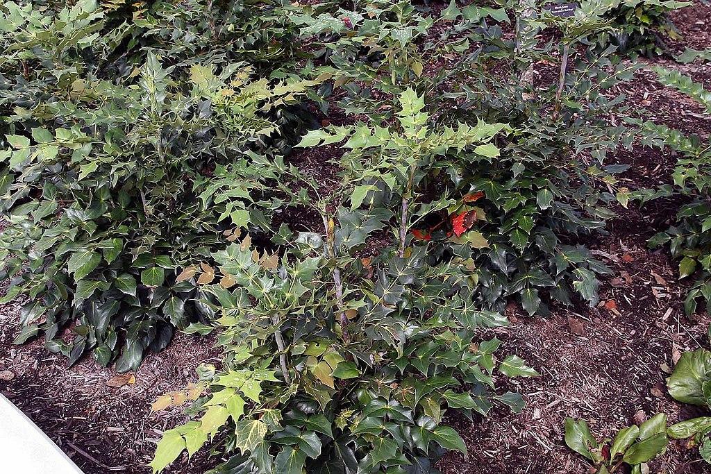 Leatherleaf Mahonia in shade