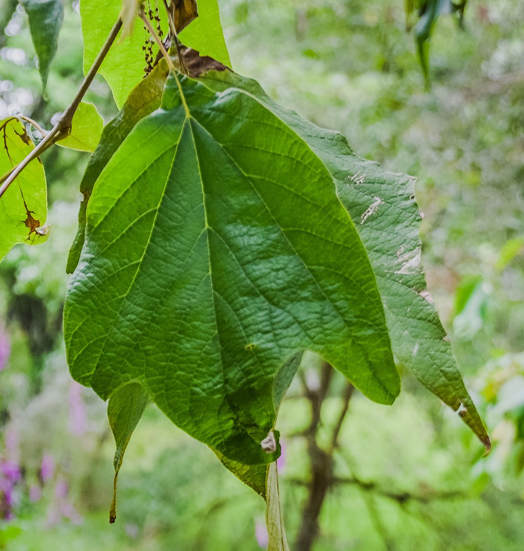 Mexican Sycamore Leaf