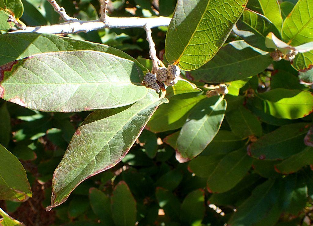 Monterrey Oak