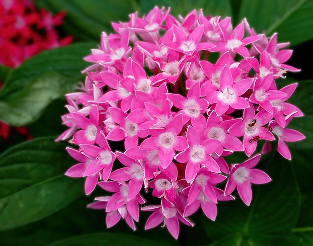 pentas pink flower for landscaping