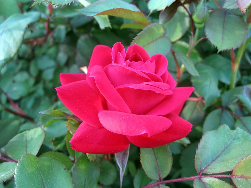 Red double knockout rose added for pop of color in landscaping