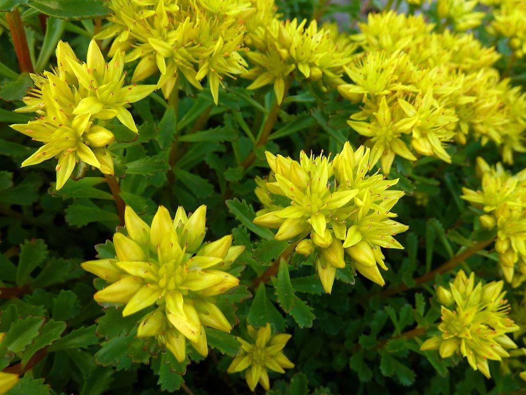 Sedum native plant