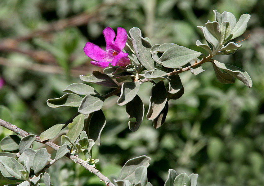 Texas Sage for xeriscaping