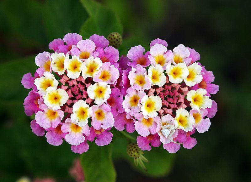 lantana flowers to beautify landscape