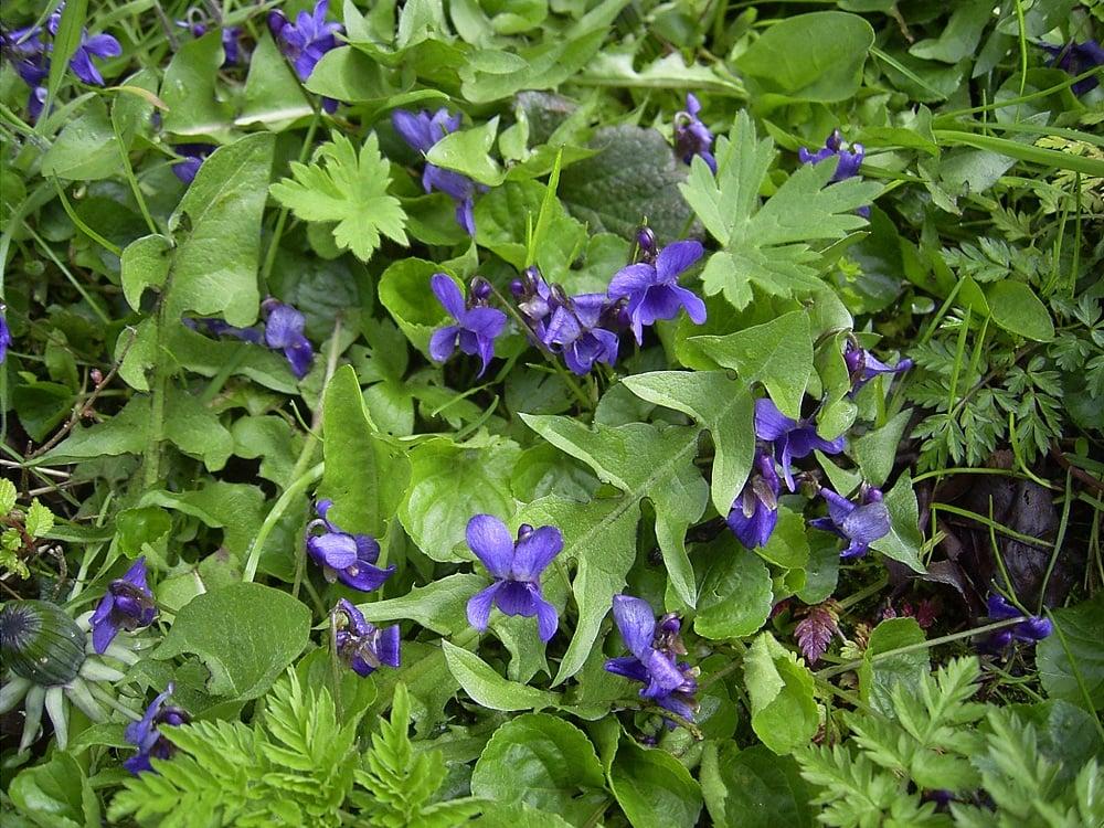 Viola plant