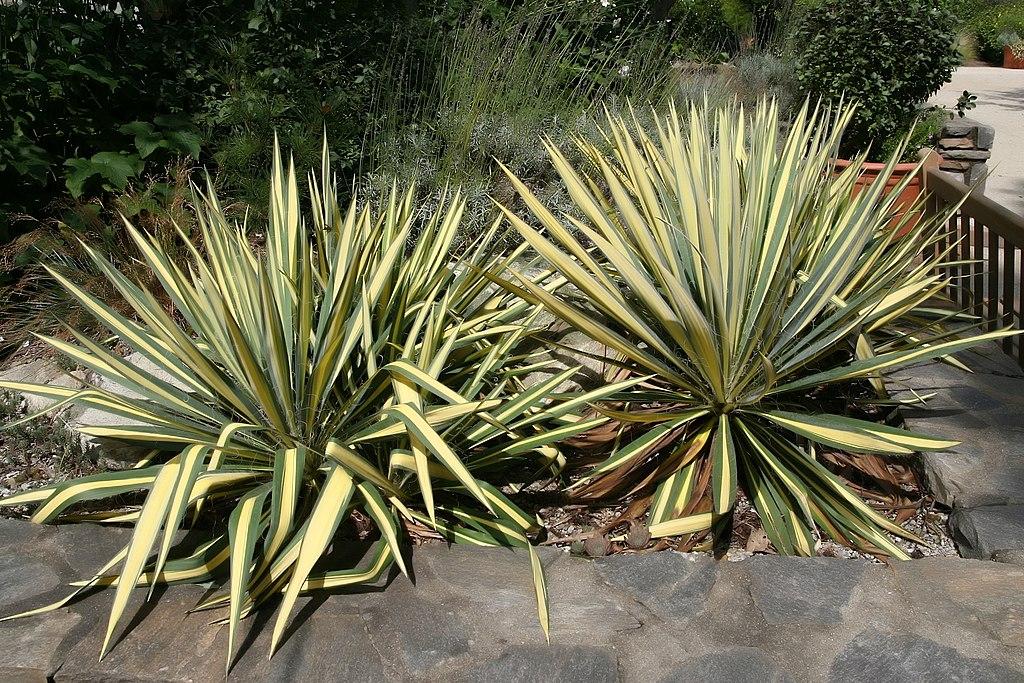 Yucca - Color Guard
