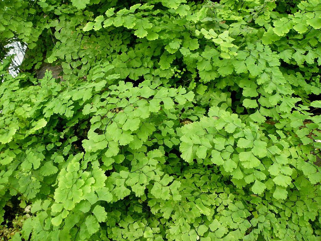 southern maidenhair fern for shade garden