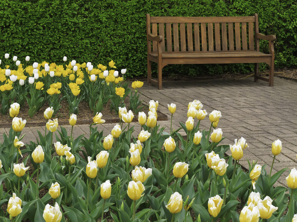 Beds of tulips in bloom near wooden bench in formal garden