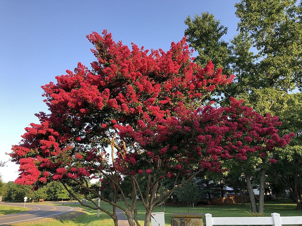 Flowering tree in Austin, TX
