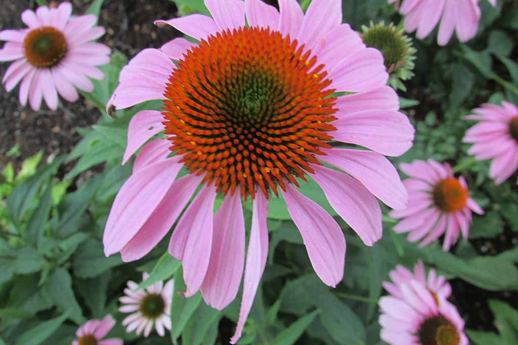 Native purple coneflower for stormwater management